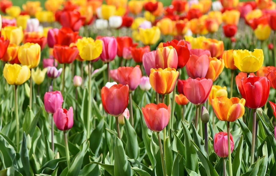 tulips-3359902_960_720.jpg