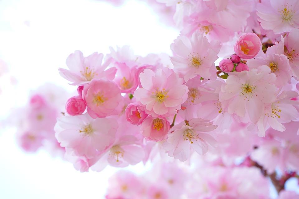 japanese-cherry-trees-324175_960_720.jpg