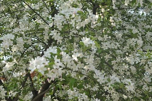 꽃사과.jpg
