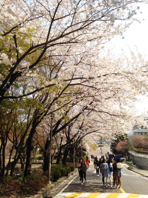벚꽃2.jpg